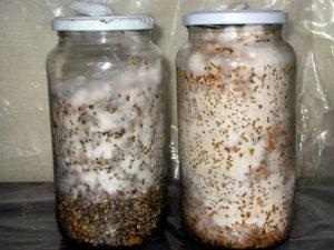 галлюциногенные грибы дома как вырастить
